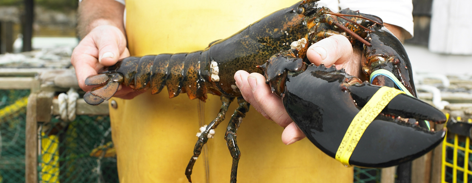 Leader in live lobster
